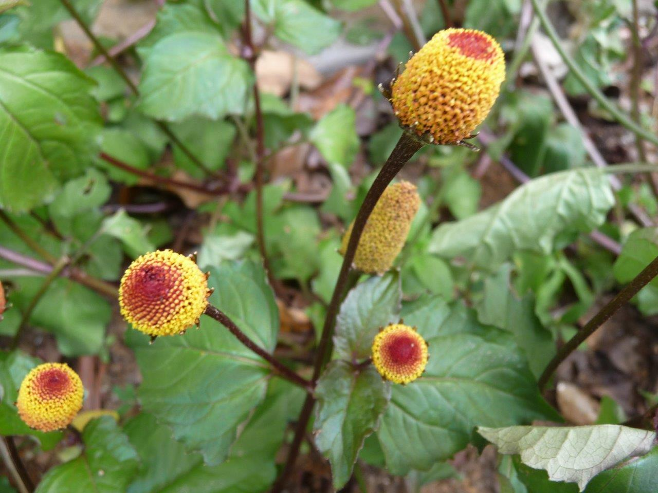 Ayurvedic Plants Of Sri Lanka Plants Details