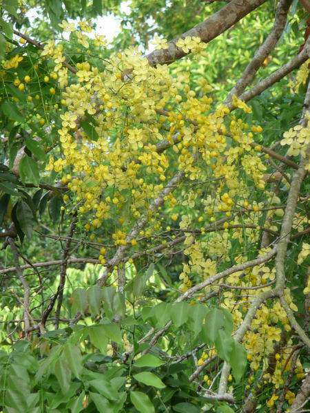 Ayurvedic Plants of Sri Lanka: Plants Details